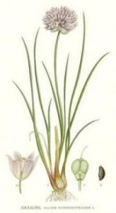 Шнитт-лук, или лук-резанец