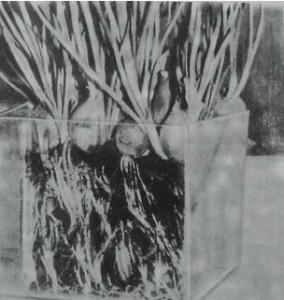 Выгонка лука на перо из луковиц
