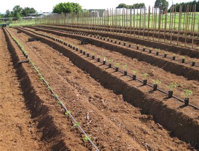 Способы посадки огурцов и помидоров