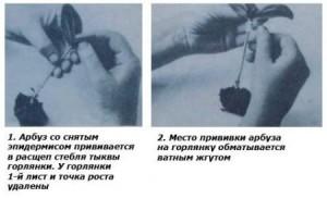 Прививка огурца на тыкву