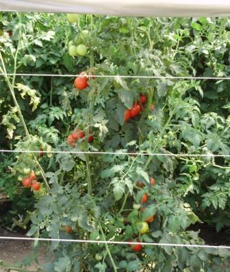 Технология выращивания помидоров в открытом грунте на Урале