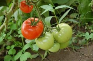 помидоры в парнике
