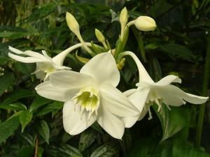 амазонская лилия