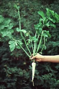 корнеплод пастернак