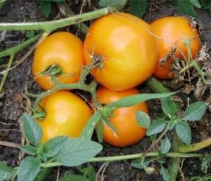 желтый помидор