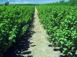 Плотность посадки смородины