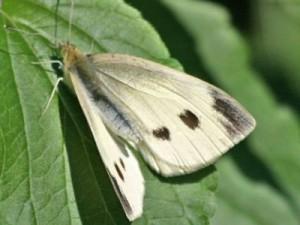 бабочка совки